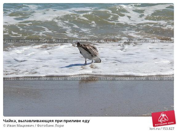 Чайка, вылавливающяя при приливе еду, фото № 153827, снято 11 сентября 2007 г. (c) Иван Мацкевич / Фотобанк Лори