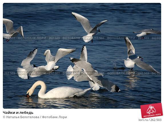 Купить «Чайки и лебедь», фото № 262503, снято 29 марта 2008 г. (c) Наталья Белотелова / Фотобанк Лори