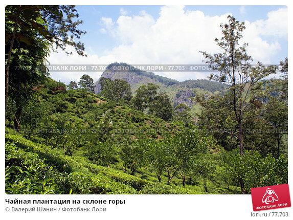 Купить «Чайная плантация на склоне горы», фото № 77703, снято 6 июня 2007 г. (c) Валерий Шанин / Фотобанк Лори
