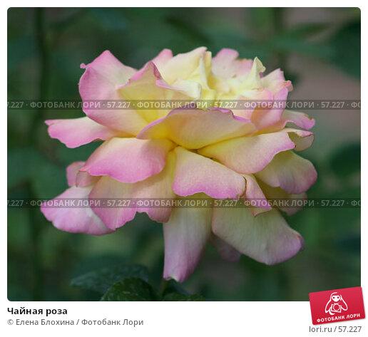 Купить «Чайная роза», фото № 57227, снято 26 июня 2007 г. (c) Елена Блохина / Фотобанк Лори