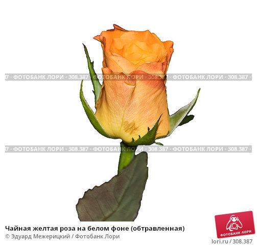 Чайная желтая роза на белом фоне (обтравленная), фото № 308387, снято 30 мая 2008 г. (c) Эдуард Межерицкий / Фотобанк Лори