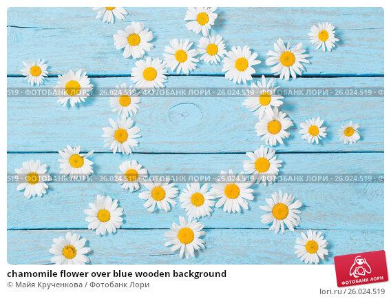 chamomile flower over blue wooden background, фото № 26024519, снято 12 июня 2016 г. (c) Майя Крученкова / Фотобанк Лори