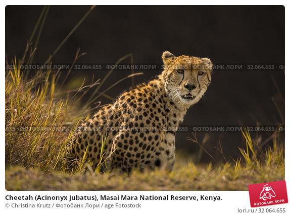 Cheetah (Acinonyx jubatus), Masai Mara National Reserve, Kenya. Стоковое фото, фотограф Christina Krutz / age Fotostock / Фотобанк Лори