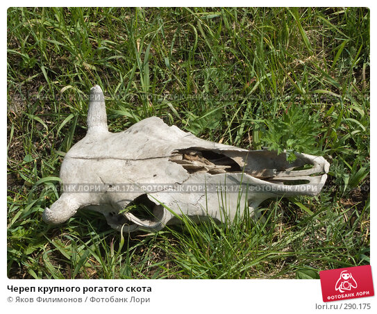 Череп крупного рогатого скота, фото № 290175, снято 18 мая 2008 г. (c) Яков Филимонов / Фотобанк Лори