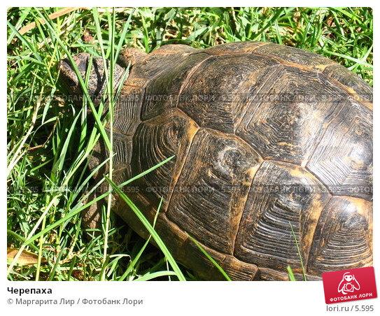 Черепаха, фото № 5595, снято 12 июля 2006 г. (c) Маргарита Лир / Фотобанк Лори