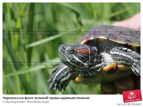 Купить «Черепаха на фоне зеленой травы крупным планом», фото № 28138643, снято 24 мая 2017 г. (c) Яна Королёва / Фотобанк Лори