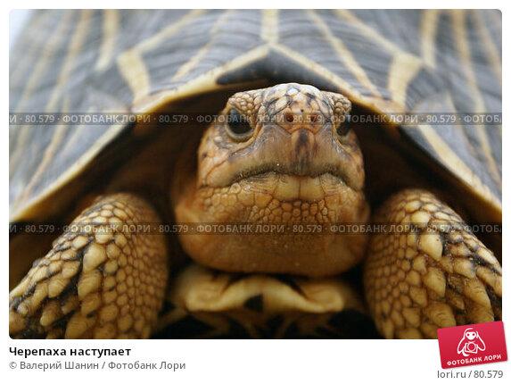 Черепаха наступает, фото № 80579, снято 15 июня 2007 г. (c) Валерий Шанин / Фотобанк Лори