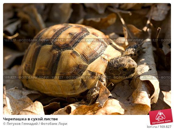 Черепашка в сухой листве, фото № 169827, снято 12 августа 2007 г. (c) Петухов Геннадий / Фотобанк Лори
