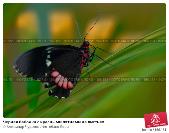 Черная бабочка с красными пятнами на листьях, фото № 166151, снято 2 января 2008 г. (c) Александр Чураков / Фотобанк Лори