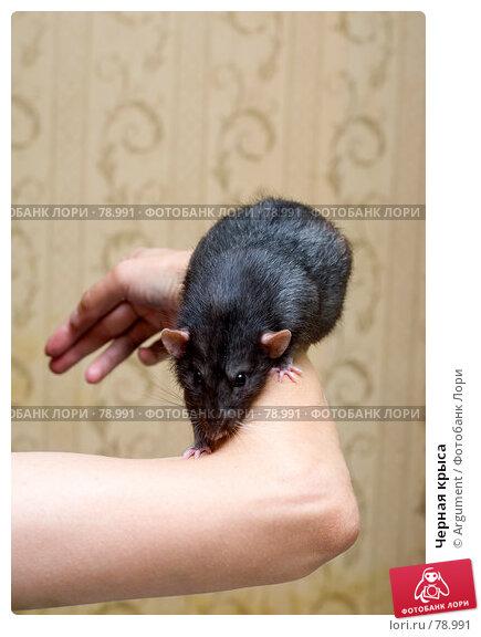 Черная крыса, фото № 78991, снято 2 сентября 2007 г. (c) Argument / Фотобанк Лори