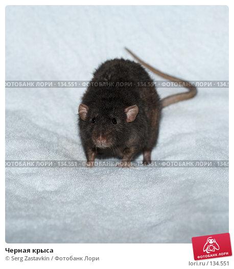 Черная крыса, фото № 134551, снято 11 октября 2006 г. (c) Serg Zastavkin / Фотобанк Лори