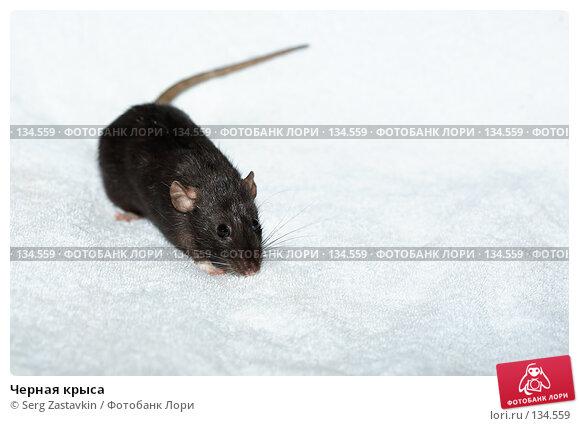 Черная крыса, фото № 134559, снято 11 октября 2006 г. (c) Serg Zastavkin / Фотобанк Лори