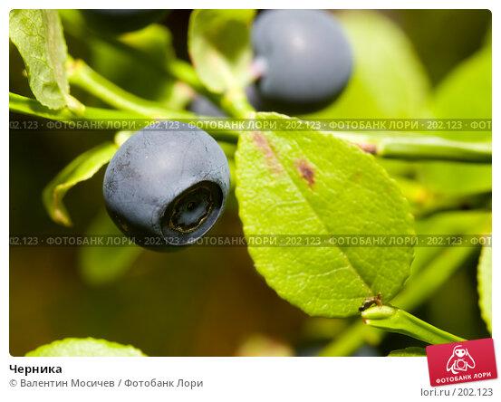 Черника, фото № 202123, снято 8 июля 2007 г. (c) Валентин Мосичев / Фотобанк Лори