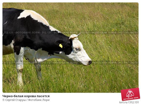 Черно-белая корова пасется, фото № 312131, снято 4 июня 2008 г. (c) Сергей Старуш / Фотобанк Лори