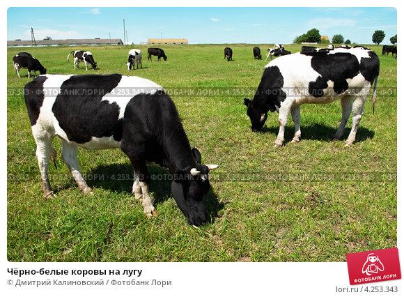 Купить «Чёрно-белые коровы на лугу», фото № 4253343, снято 1 июля 2009 г. (c) Дмитрий Калиновский / Фотобанк Лори