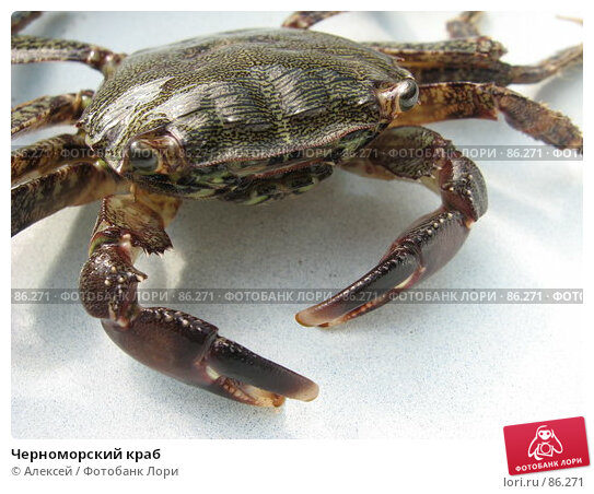 Купить «Черноморский краб», фото № 86271, снято 23 августа 2007 г. (c) Алексей / Фотобанк Лори