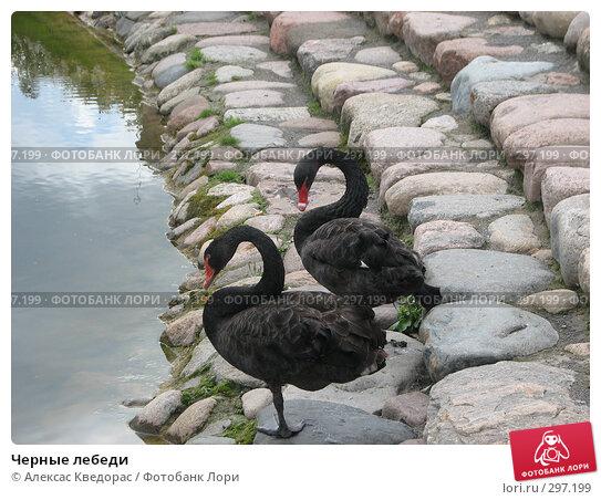 Черные лебеди, фото № 297199, снято 1 июля 2007 г. (c) Алексас Кведорас / Фотобанк Лори
