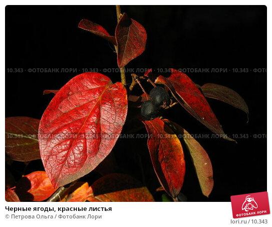 Черные ягоды, красные листья, фото № 10343, снято 27 сентября 2006 г. (c) Петрова Ольга / Фотобанк Лори