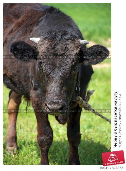 Купить «Черный бык пасется на лугу», фото № 324155, снято 14 июня 2008 г. (c) Igor Lijashkov / Фотобанк Лори