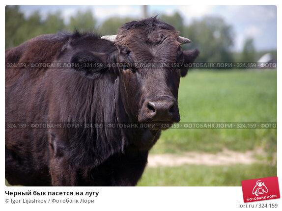 Черный бык пасется на лугу, фото № 324159, снято 14 июня 2008 г. (c) Igor Lijashkov / Фотобанк Лори