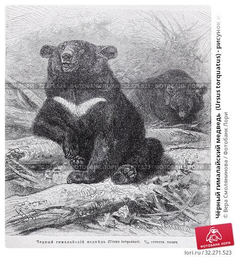 """Купить «Чёрный гималайский медведь  (Ursus torquatus) - рисунок из книги А. Брэма """"Жизнь животных"""", 1896 год», эксклюзивная иллюстрация № 32271523 (c) Вера Смолянинова / Фотобанк Лори"""