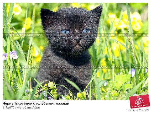 Черный котёнок с голубыми глазами, фото № 316339, снято 9 июня 2008 г. (c) RedTC / Фотобанк Лори
