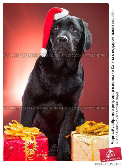 Черный лабрадор ретривер в колпаке Санты с подарочными коробками. Стоковое фото, фотограф Irina Danilova / Фотобанк Лори