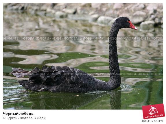Черный лебедь, фото № 46491, снято 22 мая 2007 г. (c) Сергей / Фотобанк Лори