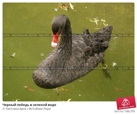 Черный лебедь в зеленой воде, фото № 166379, снято 20 июля 2005 г. (c) Светлана Архи / Фотобанк Лори