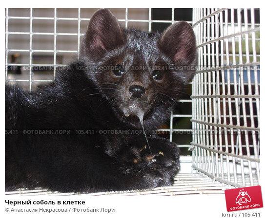 Черный соболь в клетке, фото № 105411, снято 7 октября 2005 г. (c) Анастасия Некрасова / Фотобанк Лори