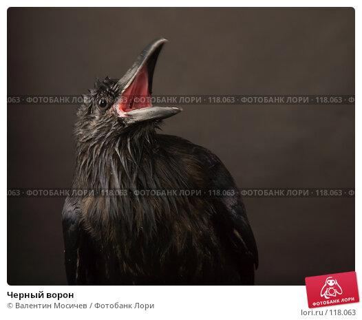 Черный ворон, фото № 118063, снято 27 октября 2007 г. (c) Валентин Мосичев / Фотобанк Лори