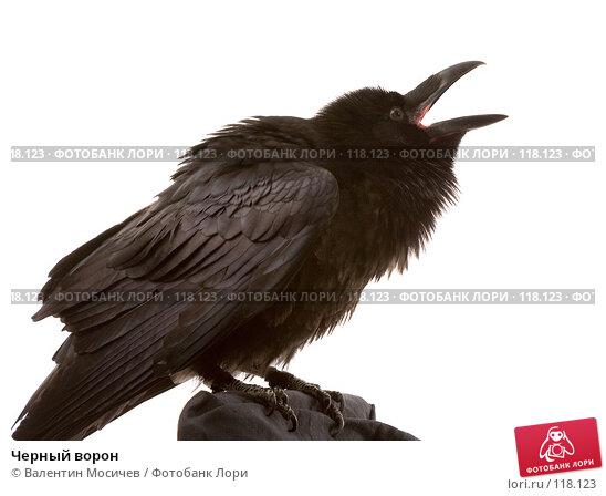 Черный ворон, фото № 118123, снято 27 октября 2007 г. (c) Валентин Мосичев / Фотобанк Лори