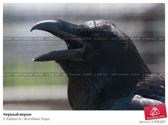 Купить «Черный ворон», фото № 2599627, снято 12 июня 2011 г. (c) Pukhov K / Фотобанк Лори