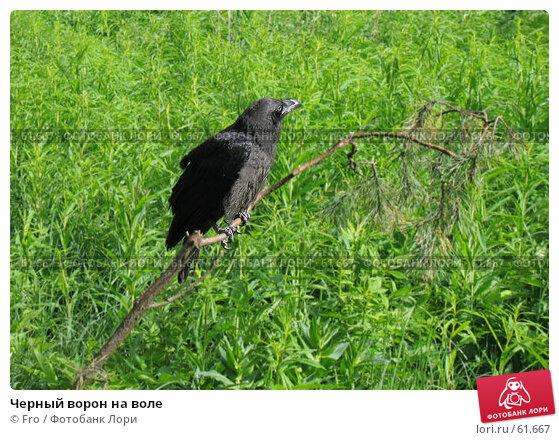 Черный ворон на воле, фото № 61667, снято 4 июня 2005 г. (c) Fro / Фотобанк Лори