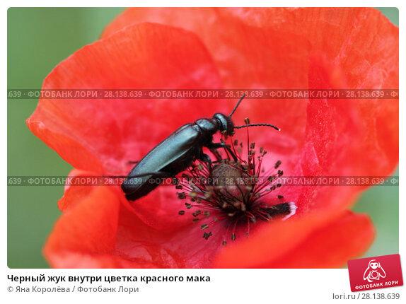 Купить «Черный жук внутри цветка красного мака», фото № 28138639, снято 20 мая 2017 г. (c) Яна Королёва / Фотобанк Лори