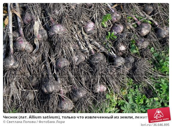 Чеснок (лат. Állium satívum), только что извлеченный из земли, лежит на земле во время сбора урожая. Стоковое фото, фотограф Светлана Попова / Фотобанк Лори