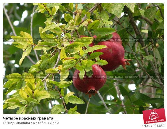 Четыре красных граната, фото № 101859, снято 15 октября 2007 г. (c) Лада Иванова / Фотобанк Лори