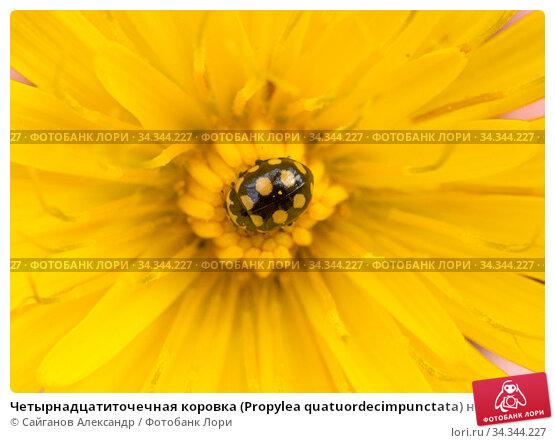 Четырнадцатиточечная коровка (Propylea quatuordecimpunctata) на цветке козлобородника. Стоковое фото, фотограф Сайганов Александр / Фотобанк Лори