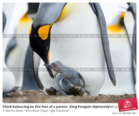 Chick balancing on the feet of a parent. King Penguin (Aptenodytes patagonicus) on the Falkland Islands in the South Atlantic. South America, Falkland Islands, January. Стоковое фото, фотограф Martin Zwick / age Fotostock / Фотобанк Лори
