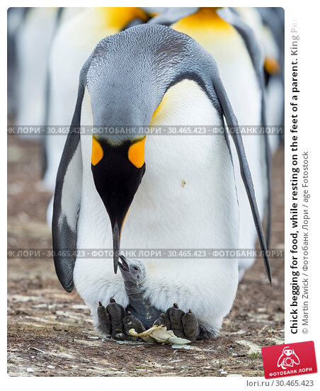 Chick begging for food, while resting on the feet of a parent. King Penguin (Aptenodytes patagonicus) on the Falkland Islands in the South Atlantic. South America, Falkland Islands, January. Стоковое фото, фотограф Martin Zwick / age Fotostock / Фотобанк Лори