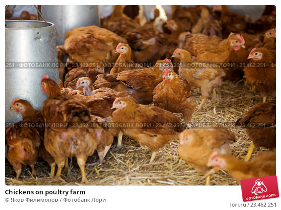 Купить «Chickens on poultry farm», фото № 23462251, снято 23 апреля 2019 г. (c) Яков Филимонов / Фотобанк Лори