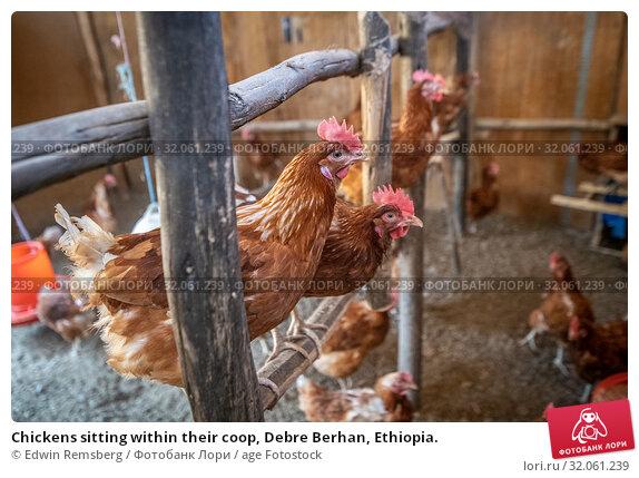 Chickens sitting within their coop, Debre Berhan, Ethiopia. Стоковое фото, фотограф Edwin Remsberg / age Fotostock / Фотобанк Лори