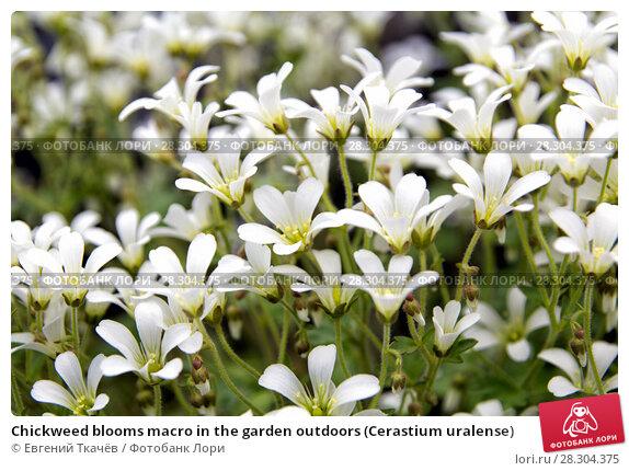 Купить «Chickweed blooms macro in the garden outdoors (Cerastium uralense)», фото № 28304375, снято 9 июня 2013 г. (c) Евгений Ткачёв / Фотобанк Лори