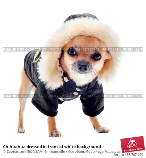 Chihuahua dressed in front of white background. Стоковое фото, фотограф Zoonar.com/BONZAMI Emmanuelle / age Fotostock / Фотобанк Лори