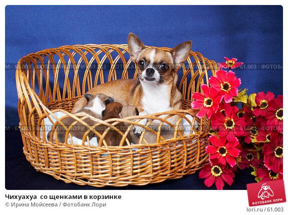 Чихуахуа  со щенками в корзинке, фото № 61003, снято 6 декабря 2006 г. (c) Ирина Мойсеева / Фотобанк Лори