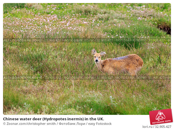 Chinese water deer (Hydropotes inermis) in the UK. Стоковое фото, фотограф Zoonar.com/christopher smith / easy Fotostock / Фотобанк Лори