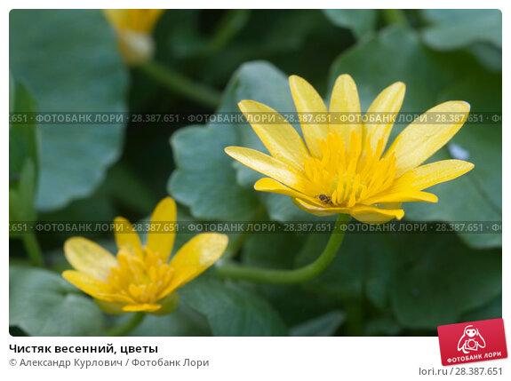 Купить «Чистяк весенний, цветы», фото № 28387651, снято 3 мая 2018 г. (c) Александр Курлович / Фотобанк Лори