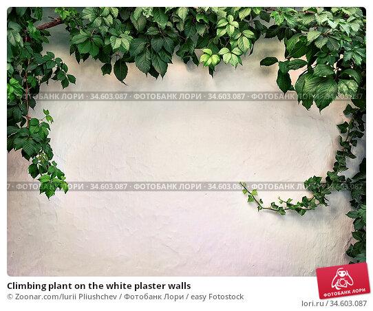 Climbing plant on the white plaster walls. Стоковое фото, фотограф Zoonar.com/Iurii Pliushchev / easy Fotostock / Фотобанк Лори