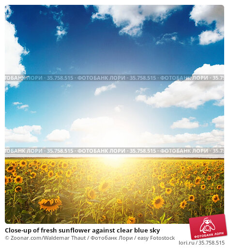 Close-up of fresh sunflower against clear blue sky. Стоковое фото, фотограф Zoonar.com/Waldemar Thaut / easy Fotostock / Фотобанк Лори