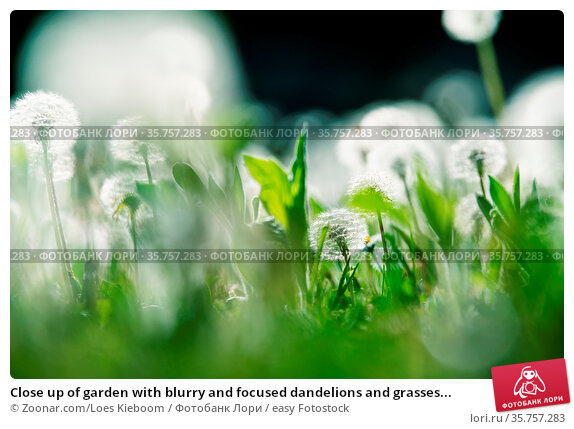 Close up of garden with blurry and focused dandelions and grasses... Стоковое фото, фотограф Zoonar.com/Loes Kieboom / easy Fotostock / Фотобанк Лори